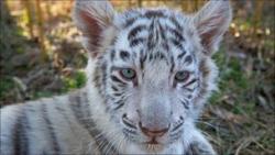 Стоимость сохранения тигров