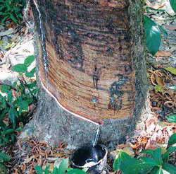 Тайна Тропического Бука - Гевея