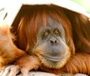 Ближайший родственник человека орангутанг