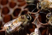 Клещ убивает пчел