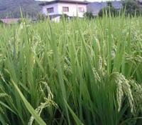 Выведен сорт риса не требующий приготовления
