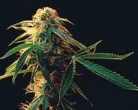 Безвредная марихуана