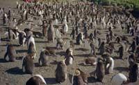 Популяция пингвинов растет