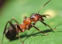 Англичане решили изучить муравьев