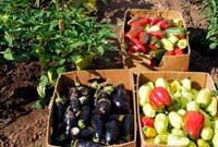 Язык овощей
