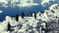 Пингвины-некрофилы