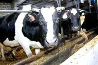 В Россию опять попал зараженный скот