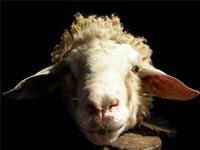 Умные овцы удивили ученых