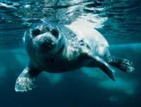 Тюленям не хватает льда