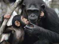 Шимпанзе оплакивают умерших родственников также как люди