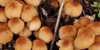Психоделичекие грибы убивают мозговые клетки