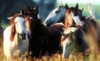 Лошади были карликовыми