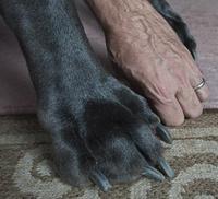 Гигантский Джордж - самая большая собака в мире
