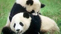 Панды плохо размножаются