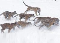 Тигры мрут от финансового кризиса