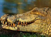 Беременная женщина вытащила из пасти крокодила своего мужа
