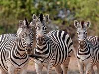 Зебры защищаются от насекомых