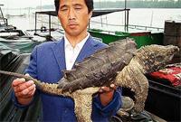 В Китае поймана крокодиловая черепаха