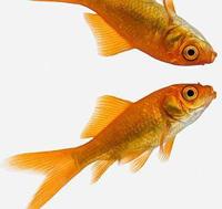 Рыбы боятся своего отражения