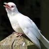 Орнитологи обнаружили сороку - альбиноса