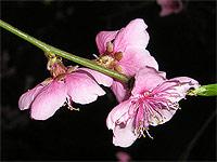 Японцы вывели новый сорт сакуры, цветущей круглый год