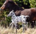 В Англии обнаружены пони-далматинцы